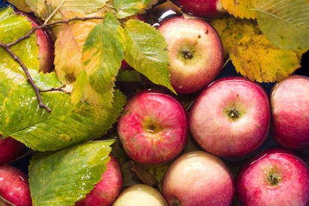 colorful image of fresh autumn red apples  in water Stock Photo - 1746671