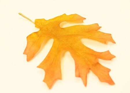 Yellow Autumn Oak Leaf