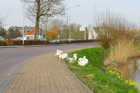 gorinchem: Geese on the waterfront in the Dutch town of Gorinchem. Netherlands Stock Photo