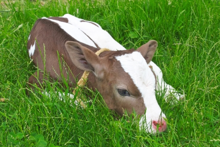 Calf in spring lying on green grass   photo