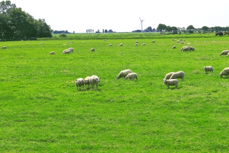 Sheep graze in a meadow near the Dutch farm photo