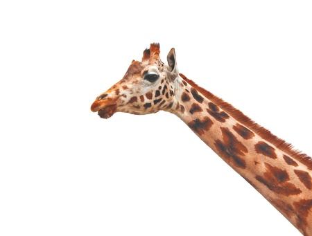 Giraffe isolated on white background Stock Photo - 17548007
