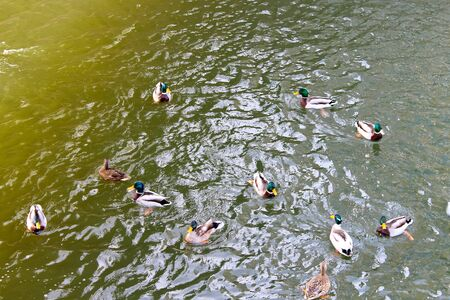 dabbling: Flock of wild ducks on the water