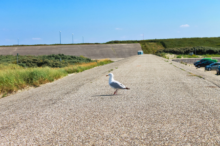 Seagull on a sandy mound near the beach. Netherlands photo