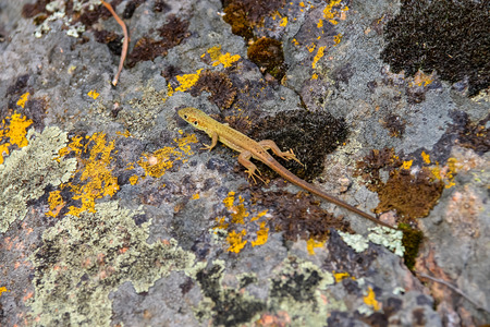 lacerta: Lizard on a boulder covered with moss Stock Photo