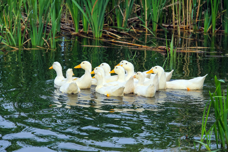 Flock of domestic ducks swimming in the backwaters Imagens