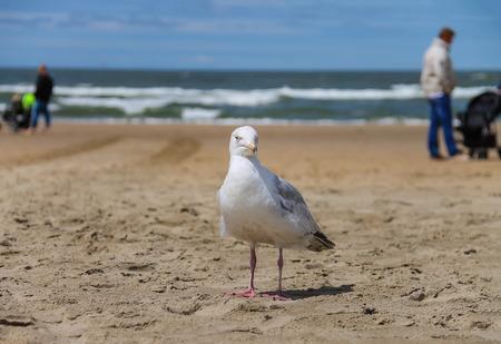 singular: Seagull is standing on sandy beach near North sea in Zandvoort, the Netherlands
