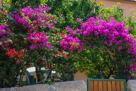 the medieval: Beautiful blooming bushes near the small house in picturesque Italian town on Elba Island Foto de archivo