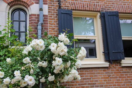 twine: Twine white roses on the facade of brick house