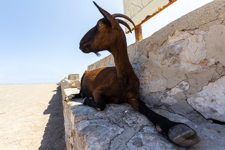 brown goat: Brown goat lying on a stone bench, spain mallorca