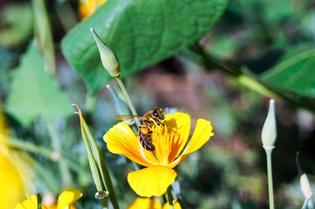 oxalidaceae: bee on the  a yellow flower at field