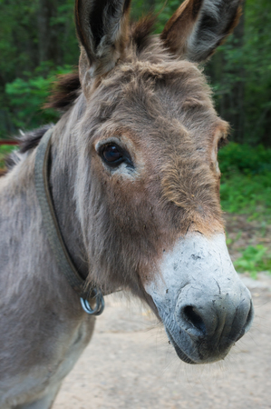 big ass: Grey donkey head portrait at summer day Stock Photo