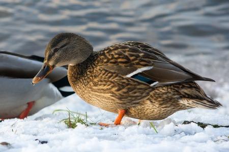 Mallard ducks in the winter pond in Russia