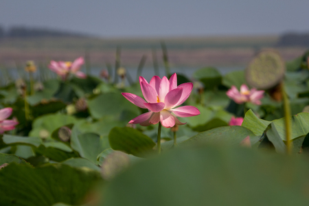 Lotus flower and Lotus flower plants on the lake Zdjęcie Seryjne