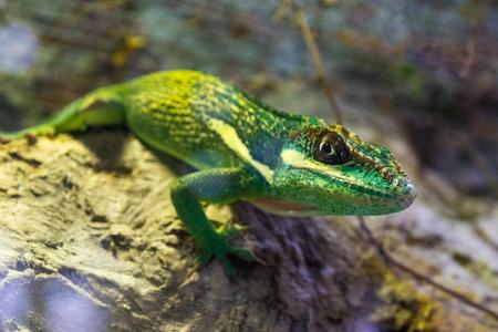 Green Lizard Green Lizard closeup Zdjęcie Seryjne