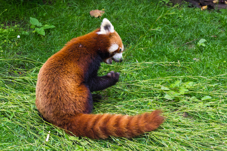 The panda red or lesser panda Ailurus fulgens