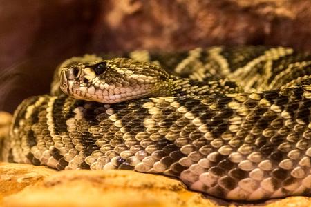Northern black-tailed rattlesnake Zdjęcie Seryjne