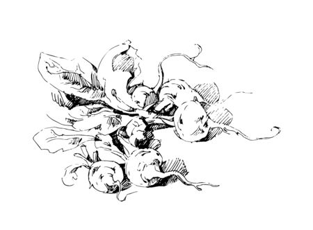 illustration of a bunch of radishes in hand drawing style