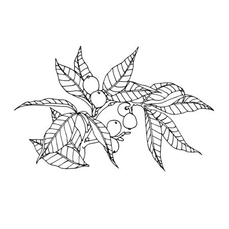 walnut branch with leaves and nuts in the skin, element of decorative ornament or pattern