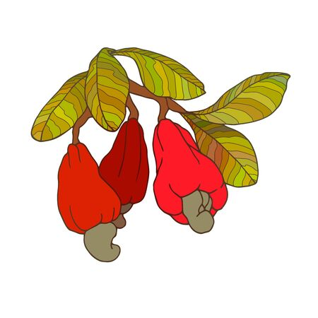 branch of cashew tree with green leaves & red fruits, nuts, color vector illustration with contour lines isolated on white background in doodle and hand drawn style