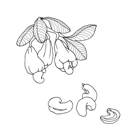 branch of cashew tree with leaves, fruits & set of peeled nuts, vector illustration with black contour lines isolated on white background in doodle and hand drawn style