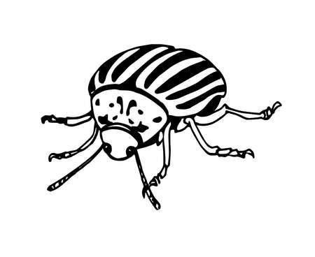 decorative colorado potato beetle, agricultural pest insect, chrysomelidae, vector illustration with black ink contour lines isolated on a white background in hand drawn style