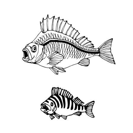 freshwater striped perch, commercial fish, river predator, delicious food, vector illustration with black contour lines isolated on white background in doodle & hand drawn style