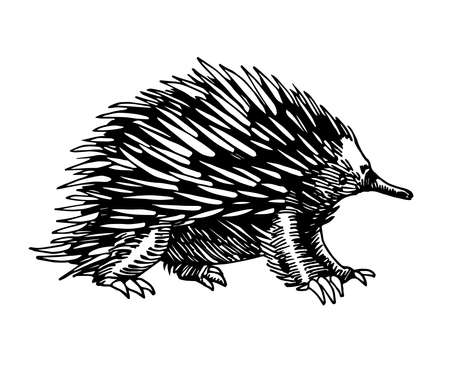 wild mammalian marsupial ovipositor australian animal, echidna with spikes, for logo or emblem, vector illustration with black ink lines isolated on a white background in a hand drawn style