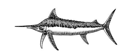 atlantic blue marlin, commercial fish, delicious seafood, engraving, sketch, vector illustration with black ink lines isolated on a white background in a hand drawn style