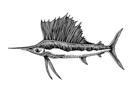 sailfish, marlin with large fin, commercial marine fish, delicious seafood, engraving, sketch, vector illustration with black ink lines isolated on a white background in a hand drawn style