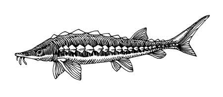 freshwater sturgeon, rare commercial fish, delicious food, for logo or emblem, engraving, vector illustration with black ink lines isolated on a white background a hand drawn style Illusztráció