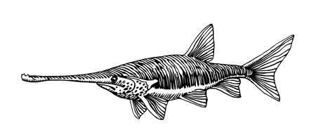 freshwater paddlefish, rare commercial fish, delicious food, for logo or emblem, engraving, vector illustration with black ink lines isolated on a white background a hand drawn style