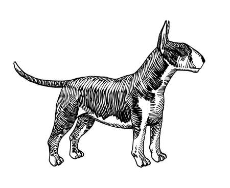 standing spotted bullterrier, fighting dog, home pet, for logo or emblem, engraving, vector illustration with black ink lines isolated on a white background a hand drawn style