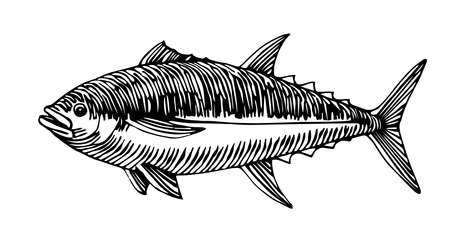 Atlantic bluefin tuna, commercial fish, delicious seafood, engraving, sketch, vector illustration with black ink lines isolated on a white background in a hand drawn style