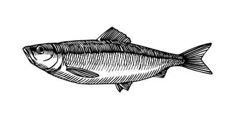 atlantic herring Illusztráció