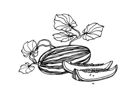 garden plant, sweet fruit, melon with slices & leaves, season food, vector illustration with black ink contour lines isolated on a white background in a doodle & hand drawn style