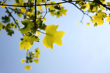 photo contains green tree leaves on blue summer sky Stock Photo