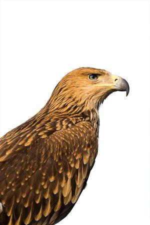 portret van een bruine adelaar geïsoleerd op wit