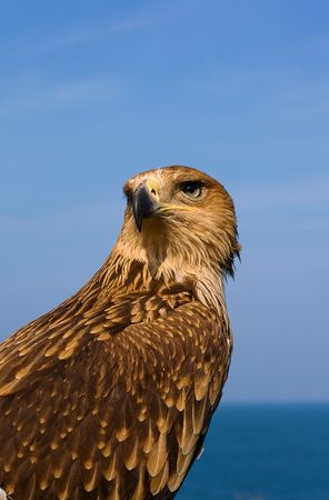 Close-up of a Brown Hawk over blue sky photo