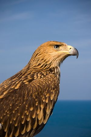 picture of a brown eagle over blue sky