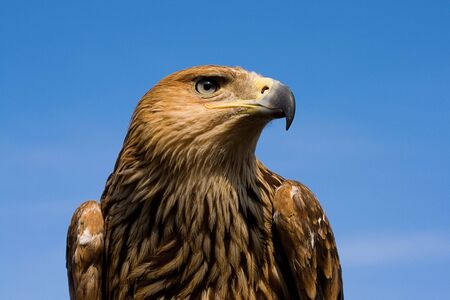 Eagle portrait over blue sky Stock Photo