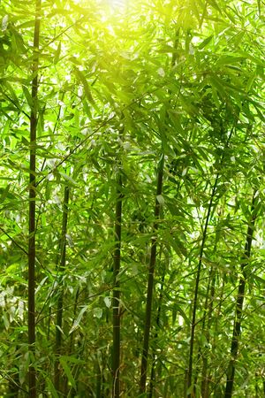 natural bamboo forest with sunlight photo