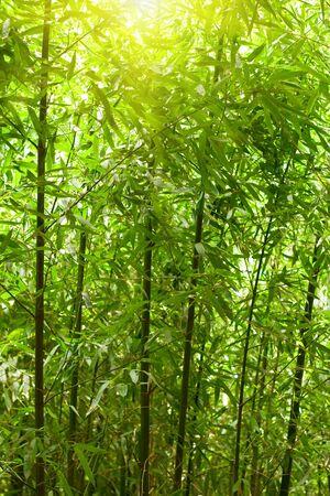 japones bambu: natural de bosque de bamb� con la luz solar Foto de archivo