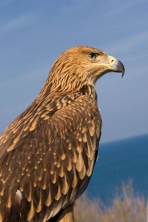 hawk portrait over blue sky Stock Photo - 4882260