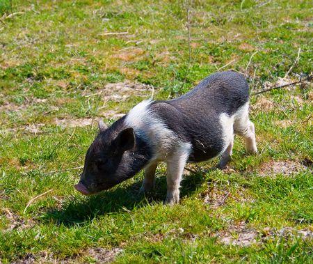 grunter: wild pig on green grass