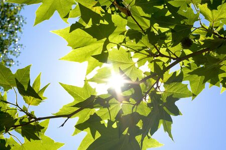 sun beams and green maple leaves photo