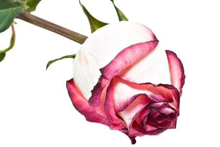 Withered rose isolated over white background photo