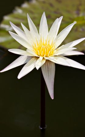 white water lily on the lake (Nymphaea alba) Stock Photo - 6051163