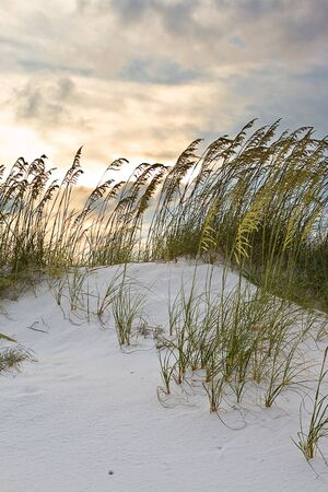Grass in sand dunes at sunset photo
