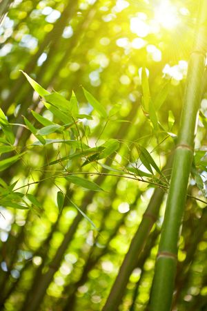Bamboo forest with sunlight, natural green background photo
